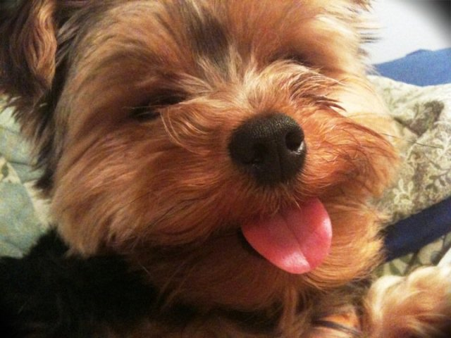 Gizmo the Yorkie Poo Yorkshire Terrier Poodle
